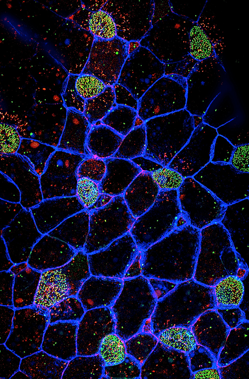 Two day old Xenopus embryo epidermis, highlighting multiciliated cells.