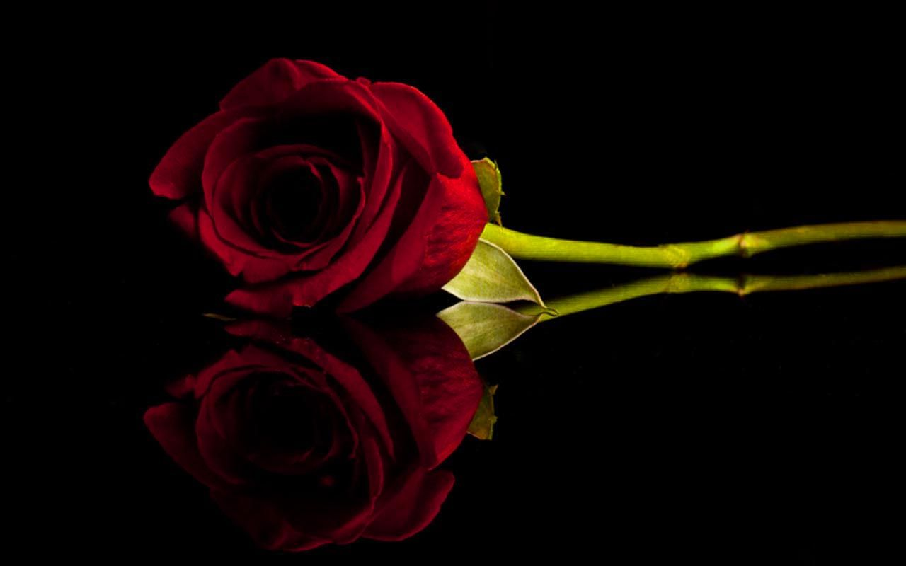 Black and Red Roses Red And Black Rose Wallpapers 8 Wide