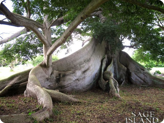 Sage Island: Almost 400 Year Old Ceiba Tree