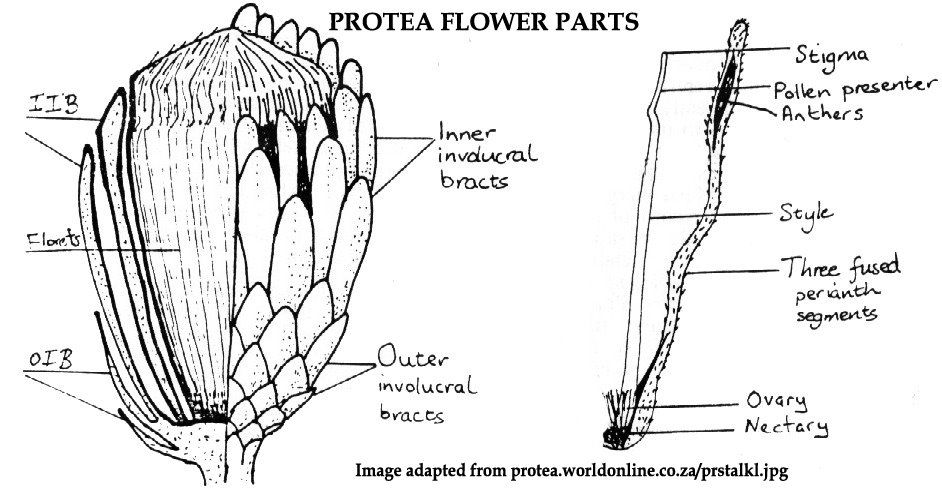 The Nature Of Robertson Protea Flower Parts In Detail Parts Of A Flower Protea Flower Protea