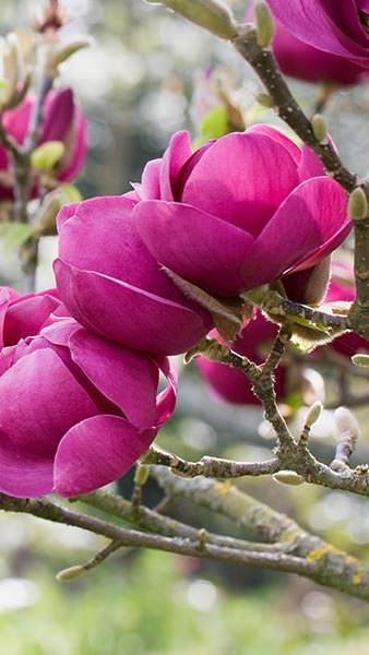 Magnolia Black Tulip Large Deep Purple Tulip Like Flowers Black Tulips Magnolia Trees Beautiful Flowers