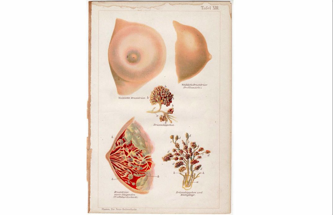 C1902 Breast Anatomy Antique Female Anatomy Lithograph