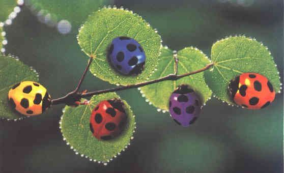 Pink Ladybugs That Are Real | Photo of Colorful Ladybugs (With ...