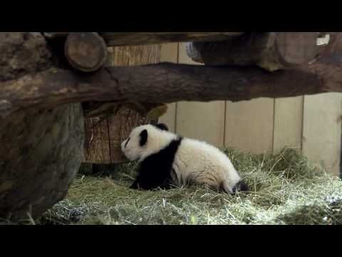 Panda Twins Are Top Attraction at Vienna Zoo - ZooBorns