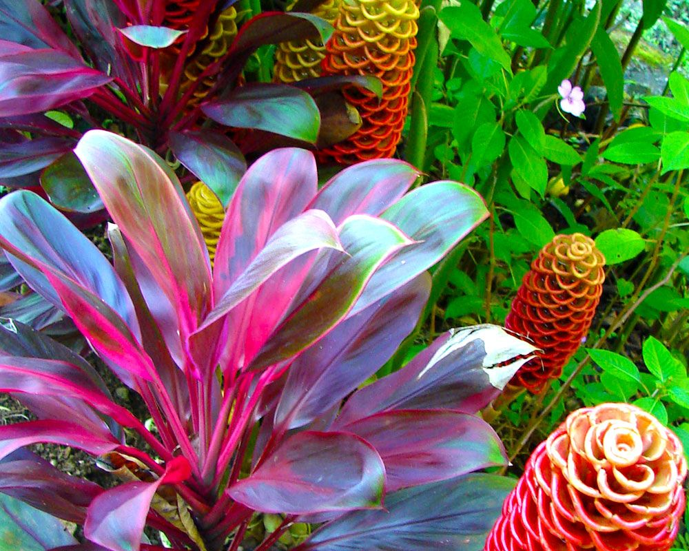 Vibrant red ti keeps company with beehive ginger at hawaii for Vivero plantas tropicales