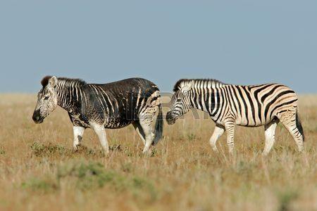 Two Plains Zebras One With A Rare Dark Melanistic Coloration Melanistic Animals Melanistic Rare Animals