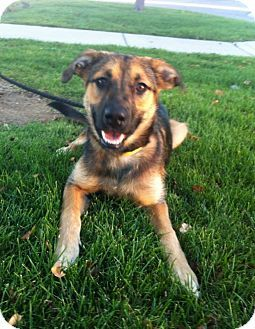 Denver Co German Shepherd Dog Labrador Retriever Mix Meet Bailey A Dog For Adoption German Shepherd Dogs Dogs Shepherd Dog Mix