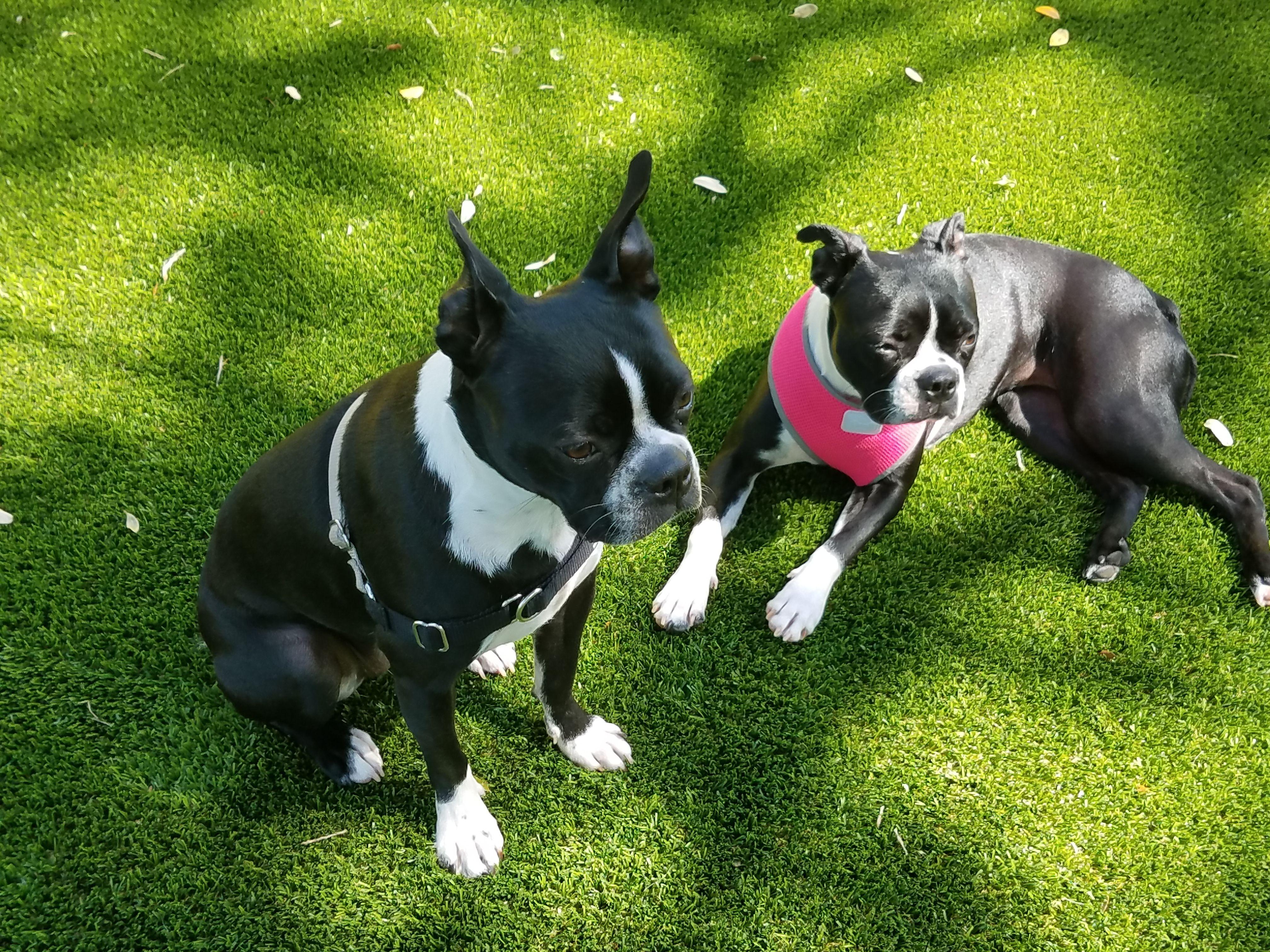 Pinot & Sinoma! Boston Terrier sisters at Barks