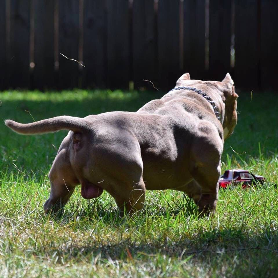 American Bullies For Sale In Alabama Bully Breeds Dogs Pitbull