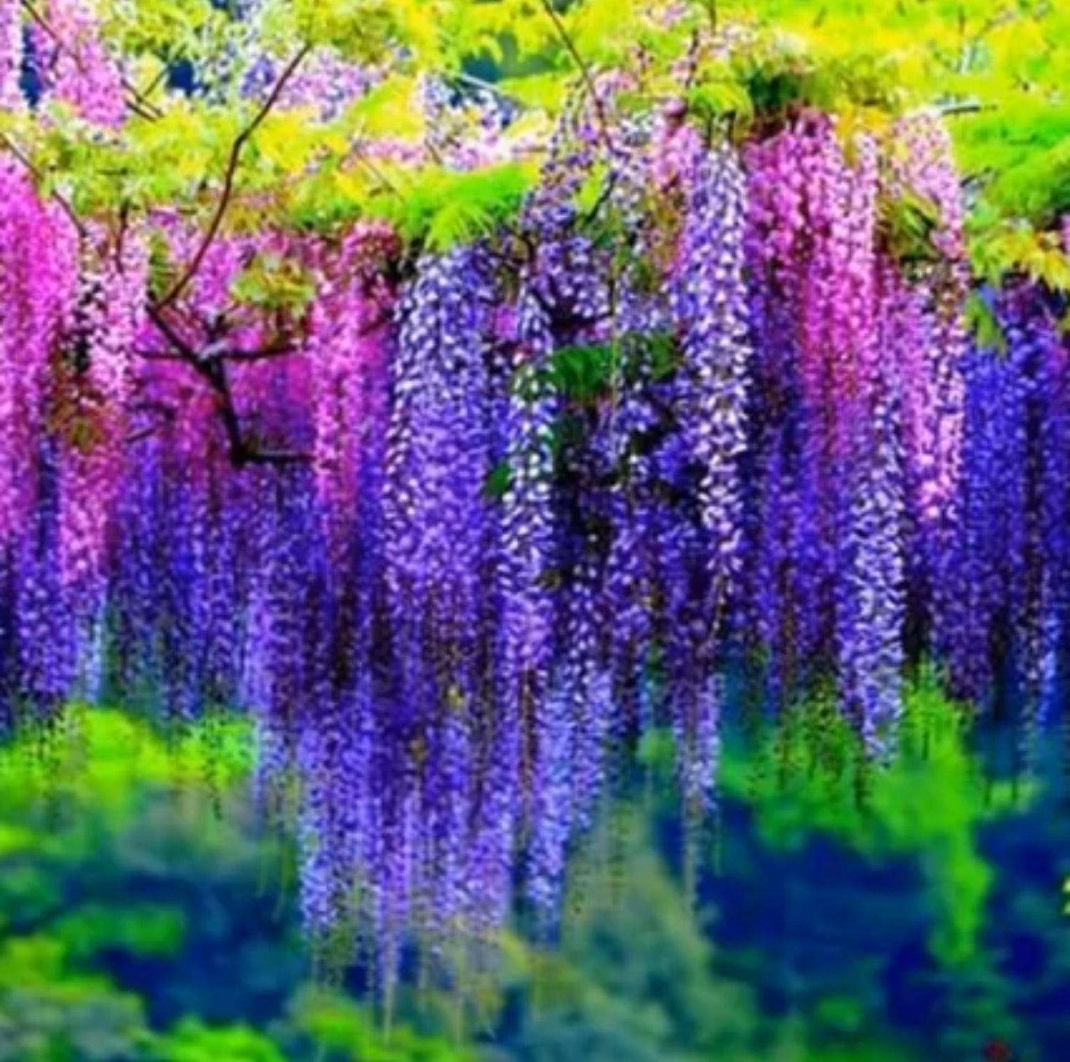 Radiant Magenta And Violet Wisteria Flowers Wisteria Wonderful Flowers Flower Landscape