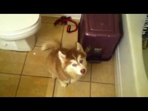 Husky Pup Doesn T Want A Bath Husky Puppy Puppies Kitties