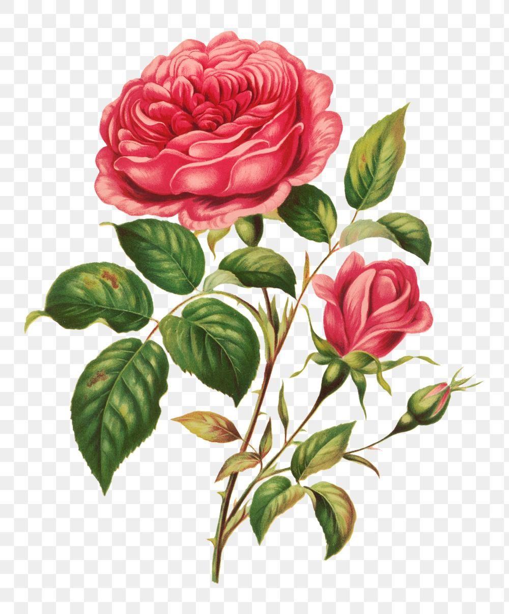 Vintage Rose Flower Botanical Png Illustration Remix From Artworks By L Prang Co Premium Image By Rawpixel Com Flower Illustration Vintage Roses Flowers