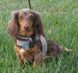 Adopt Vinnie On Petfinder Adoptable Dachshund Dog Dog Adoption