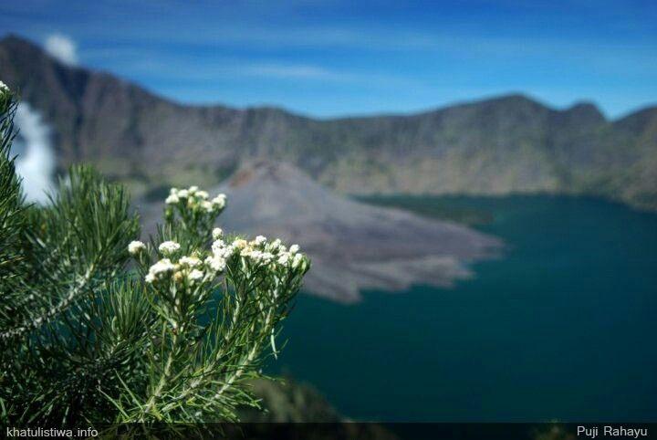 Edelweis Dari Gunung Rinjani Indonesia Pegunungan