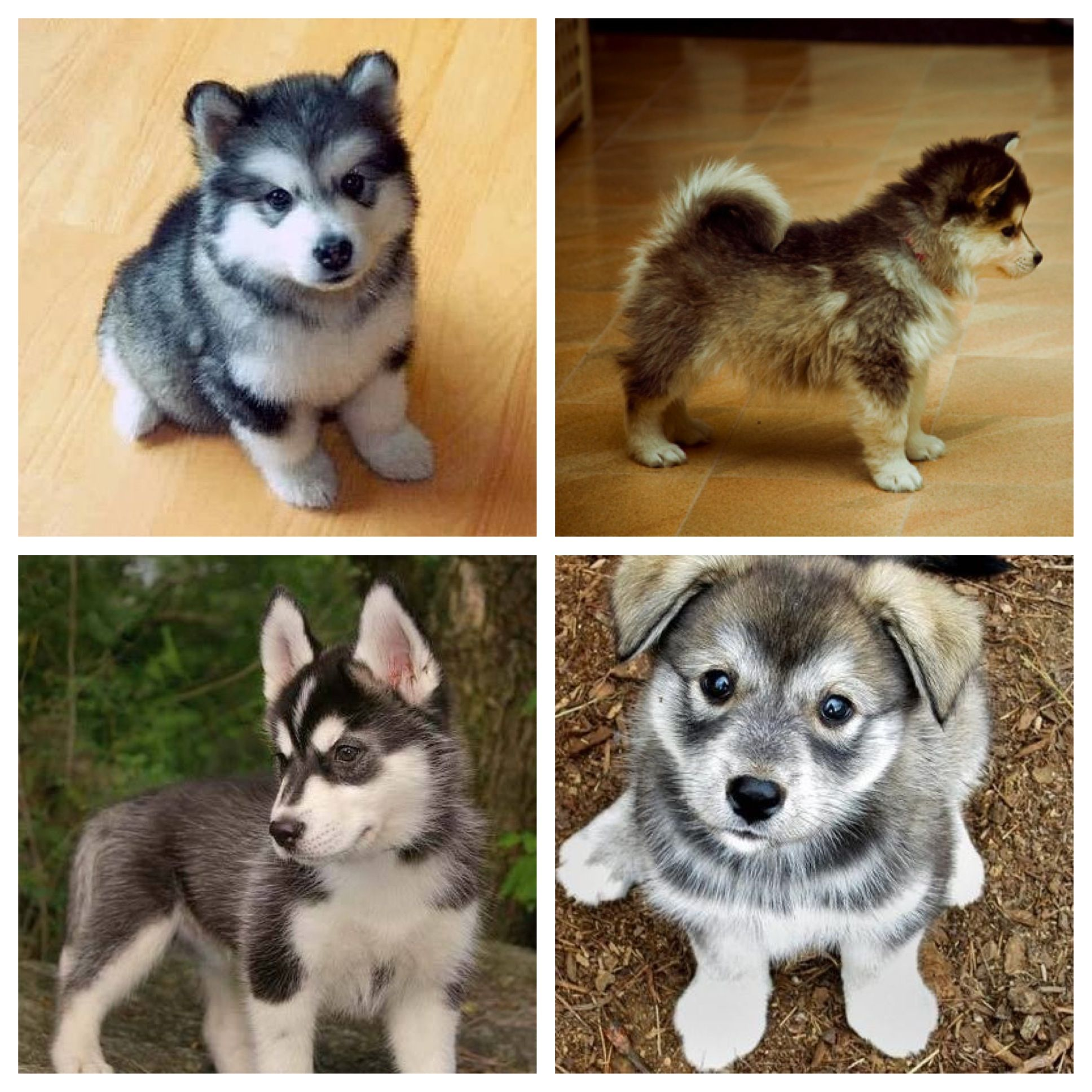 husky and pomeranian mix dogs pomeranian husky mix dogs pinterest to be too cute 8938