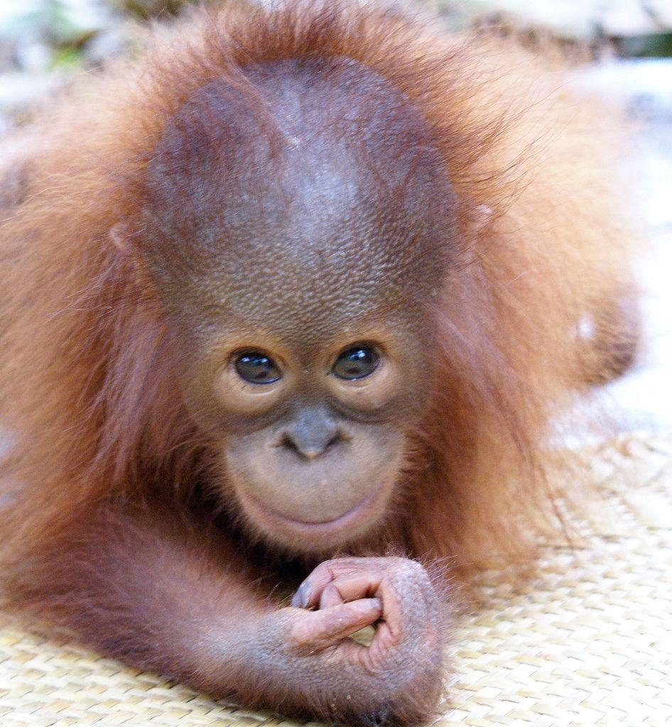Diego   Baby orangutan, Orangutan, Cute animals