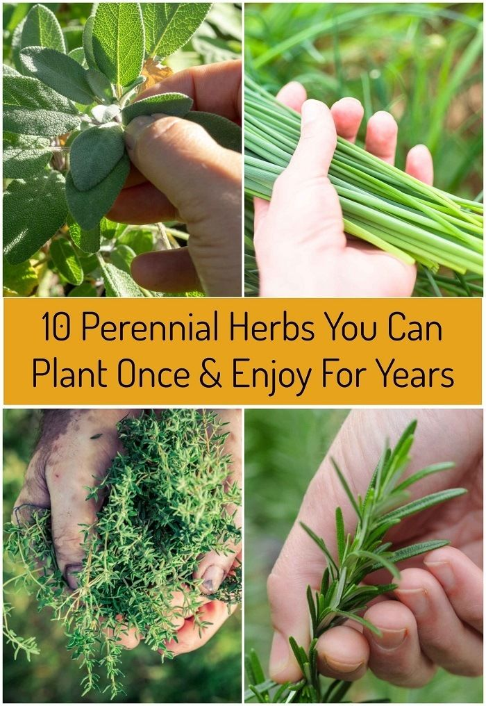 10 Perennial Herbs You Can Plant Once & Enjoy For Years