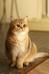 Quiet Cat Breeds Britisch Kurzhaar  Cats