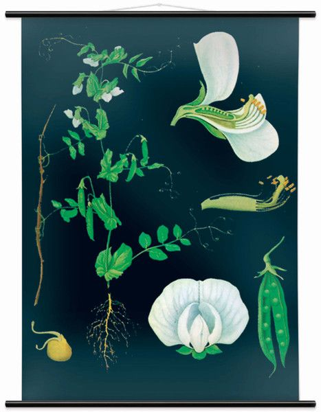 This Piece Of Wall Art Is An Educational Print The Garden Pea Printed Using