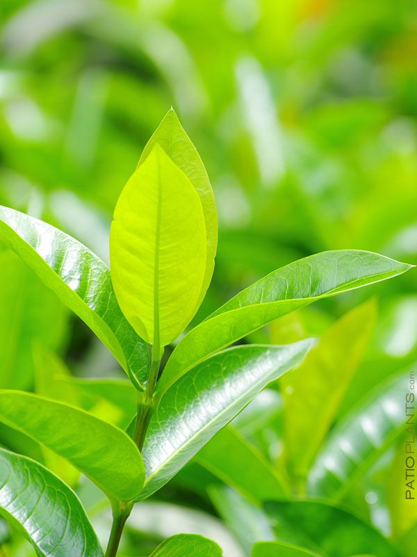 Green Tea Plant Camellia Sinensis High Yield Variety 4 Pot Green Tea Plant Tea Plant Real Green Tea