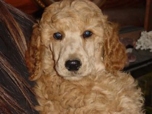 Standard Poodles For Sale Nc Puppies For Sale Standard Poodle