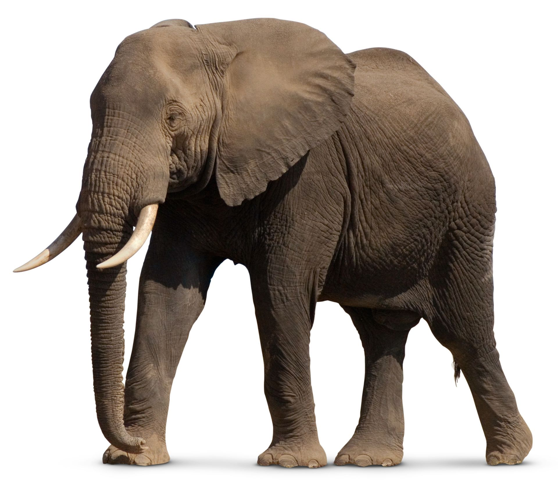 Image Result For African Elephant Elephant Pictures Elephant Facts Elephant