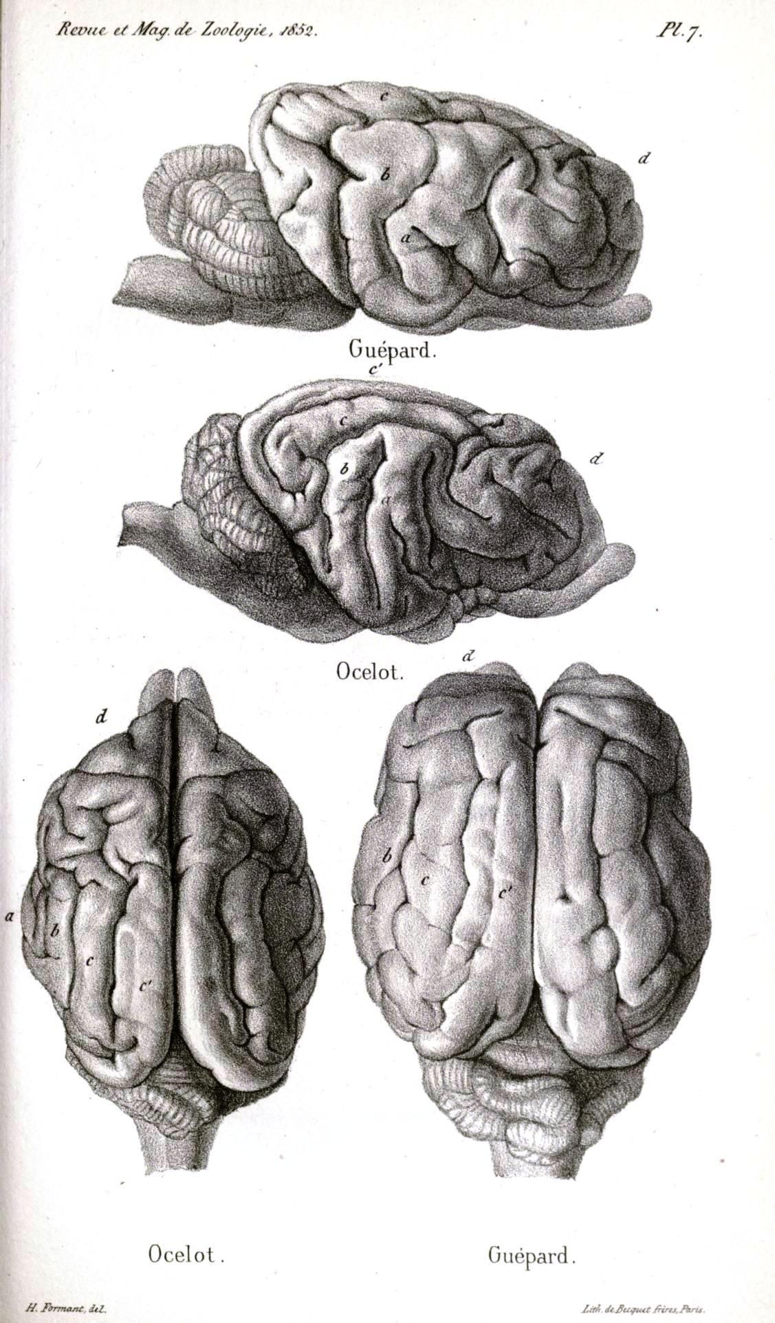 Comparative Brain Anatomy Cheetah And Ocelot From Revue Et Magasin
