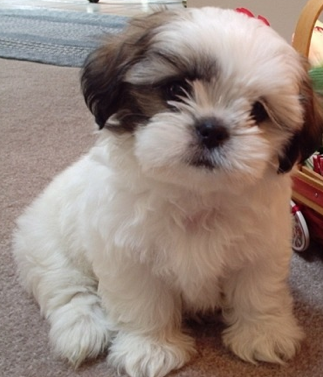 All About The Pomeranian Shih Tzu Mix Dogable Dogmom Shitzu Puppies Lap Dogs Cute Puppy Pictures
