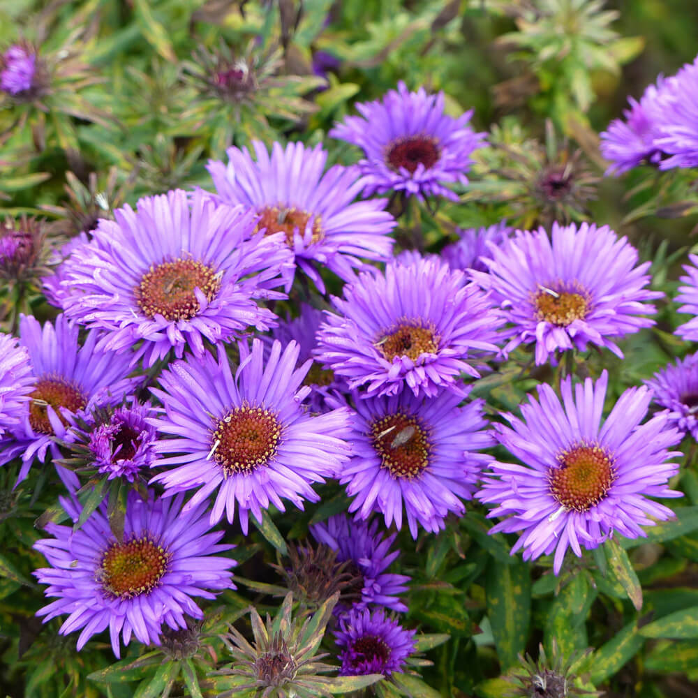 Aster Seeds New England Aster Flower Seed In 2020 Aster Flower American Meadows Plants