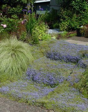 Ground cover: Pratia pedunculata Little Star Creeper - not ...