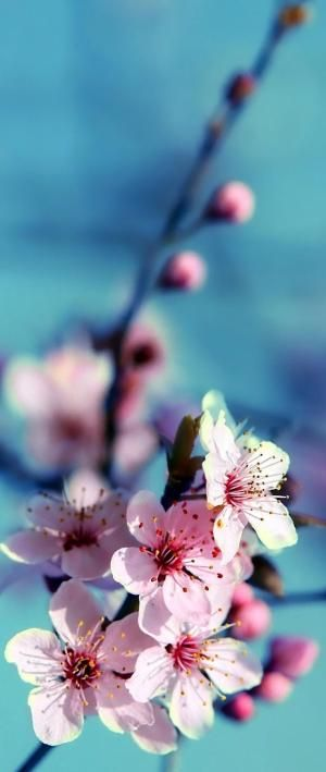 Japanese Cherry Blossom By Aerily