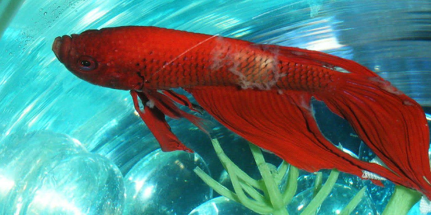 Betta Fish with Columnaris | Fish | Pinterest | Betta fish, Betta ...