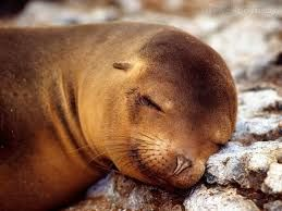 A vida das focas foca dormindo