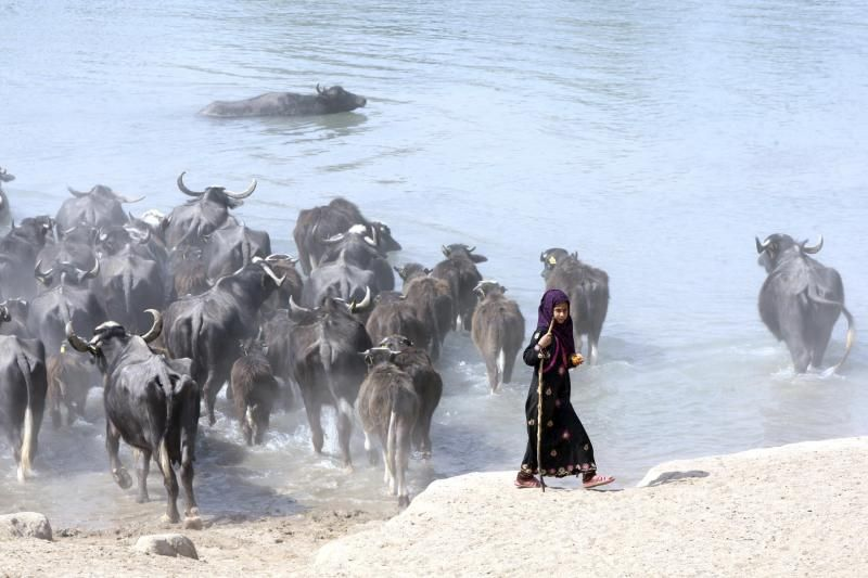 An Iraqi girl herds water buffaloes in the Euphrates river in Najaf, south of Baghdad, March 6, 2014.