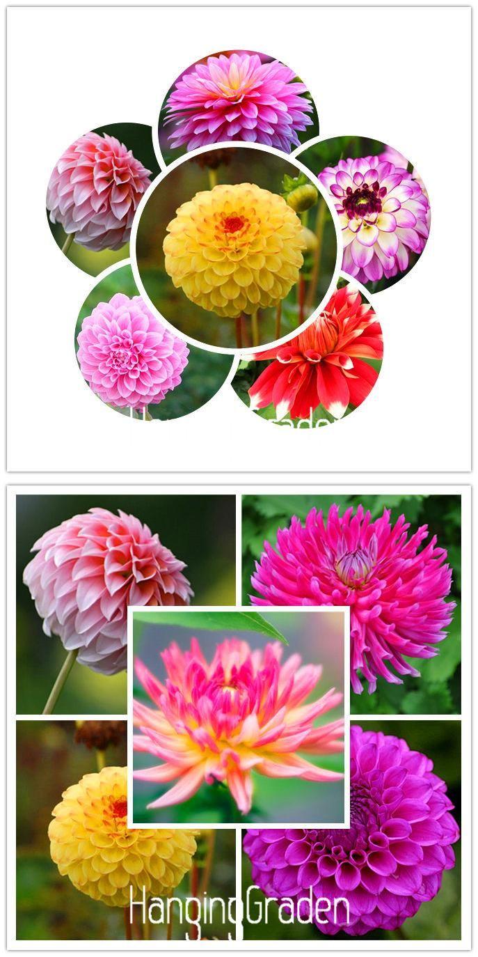 Visit To Buy Flower Seeds Type Ordinally Yukako Dahlia Bulbs Seeds Bonsai Flowers 100 Pcs Seeds 24 Color Mixed Free Bonsai Flower Flower Seeds Color Mixing