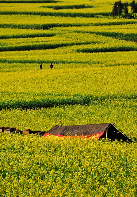 Rapeseed field, Luoping, Yunnan, China