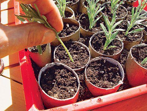 Stecklinge Von Lavendel Selber Zuchten Schritt 5 Von 7 Garten