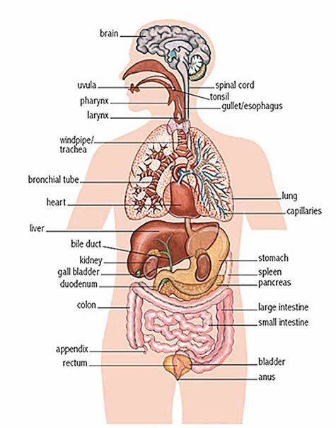 internal organs of the human body english lesson. www.facebook, Human Body