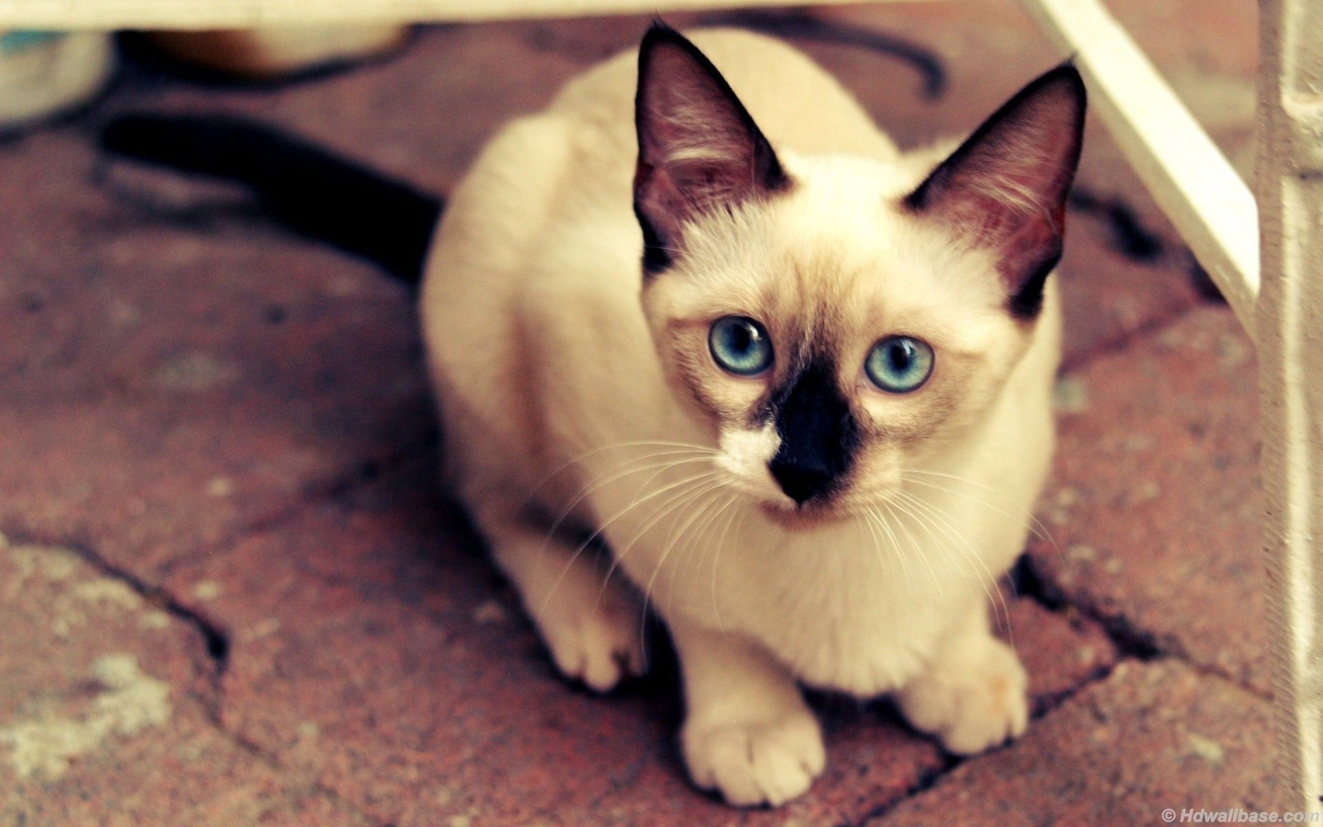 Blue Eyes Siamese Cat Wallpapers Siamese Cats Cat Wallpaper Cats