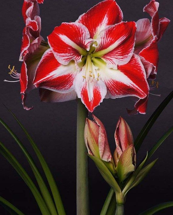 The Flower For The Playful Section In 2020 Amaryllis Flowers Red Amaryllis Amaryllis