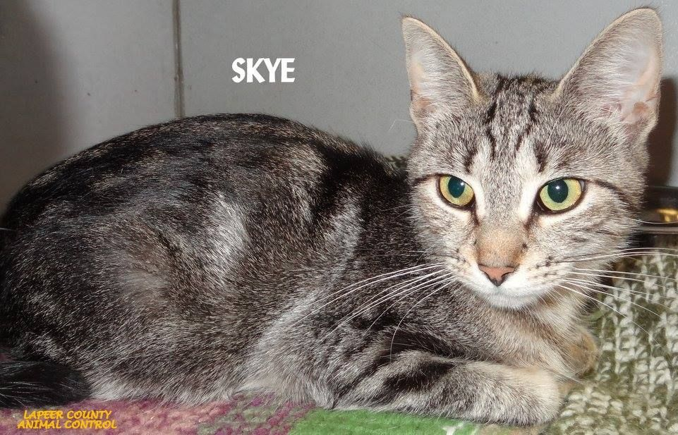 ADOPTED! Tag #8725 Name is Skye Tabby Female-not spayed Arrived with Zelda Friendly and laid back!   Located at 2396 W Genesee Street, Lapeer, Mi. For more information please call 810-667-0236. Adoption hrs M-F 9:30-12:00 & 12:30-4:15, Weds 9:30-12:00 & Sat 9:00-2:00      https://www.facebook.com/267166810020812/photos/a.893936650677155.1073742191.267166810020812/893939477343539/?type=3&theater