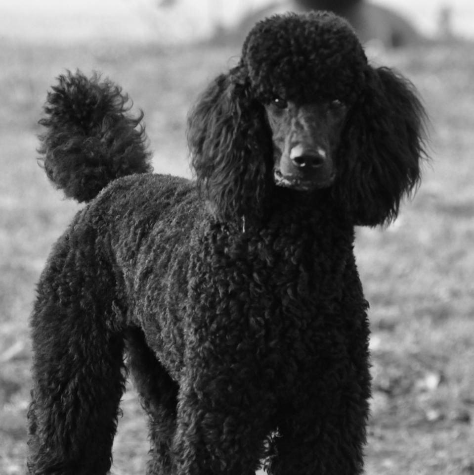 Dandy And Radar The Gentle Giants Poodle Puppy Black