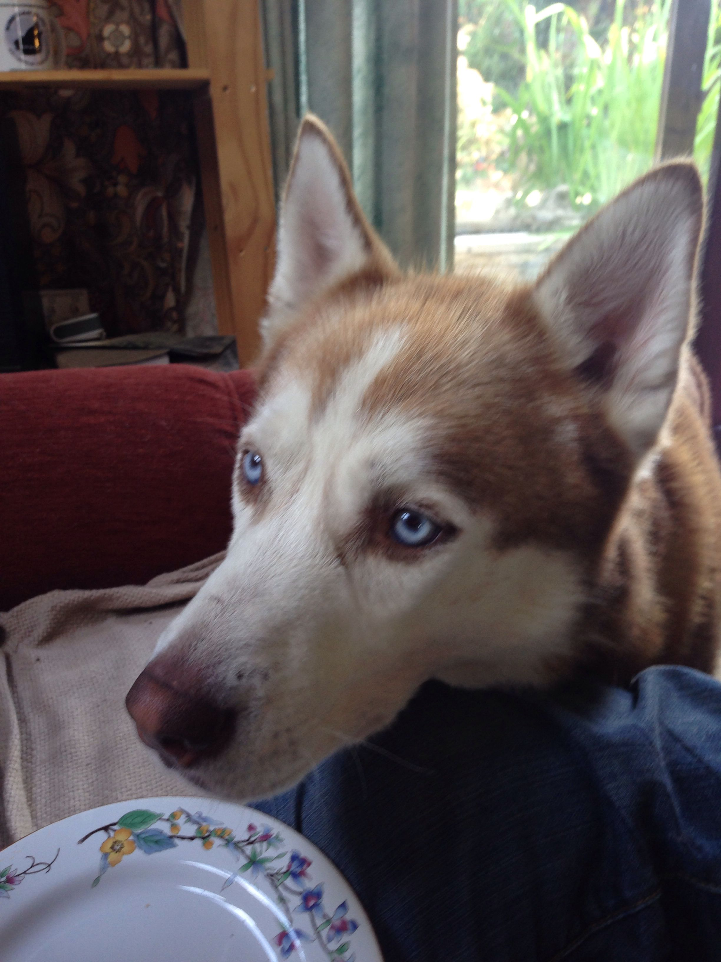 This looks just like our husky, but he has green eyes!!