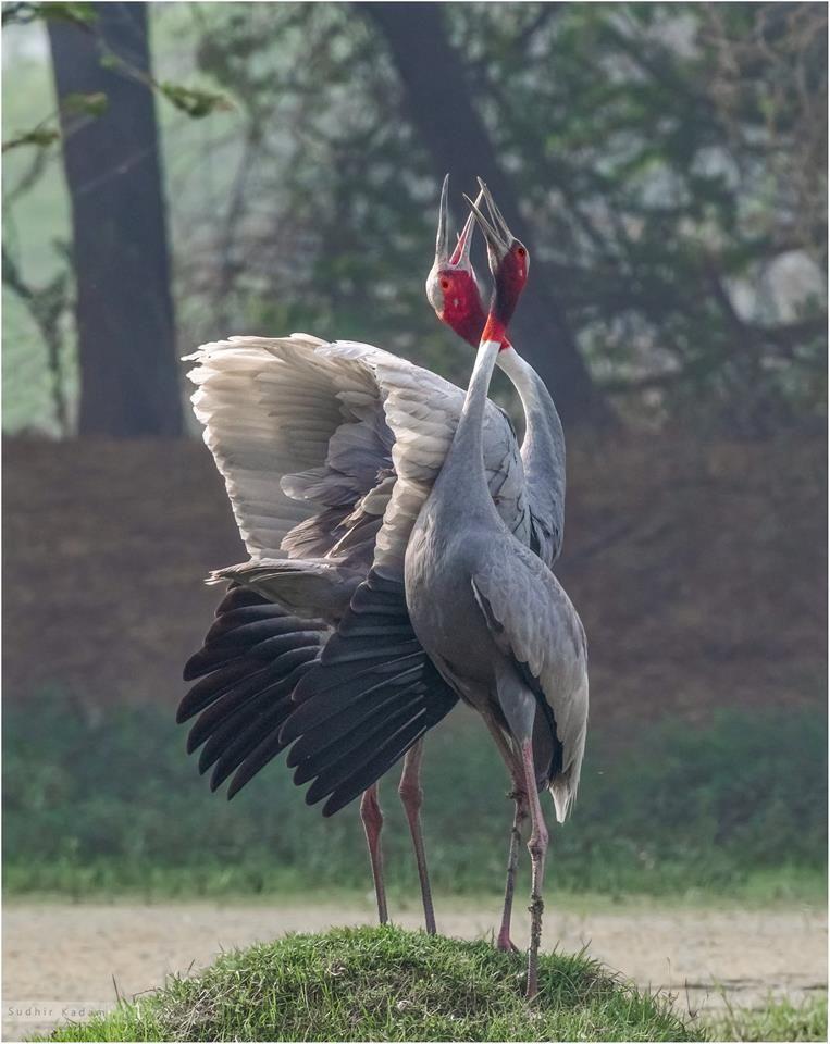 Sarus cranes | Wild animals photography