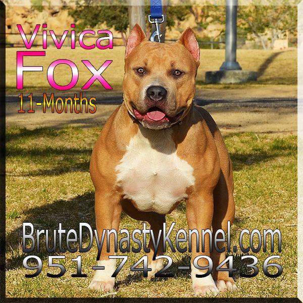Xl American Bully Pitbull American Bully Pitbull Bully Breeds Pitbulls