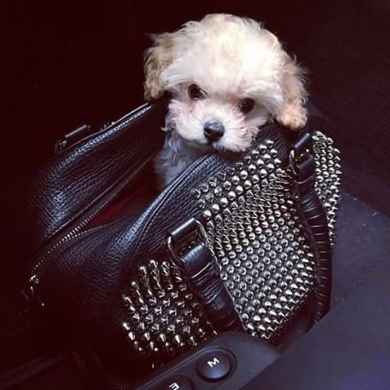 Too stinking cute!  Puppy in Louboutin