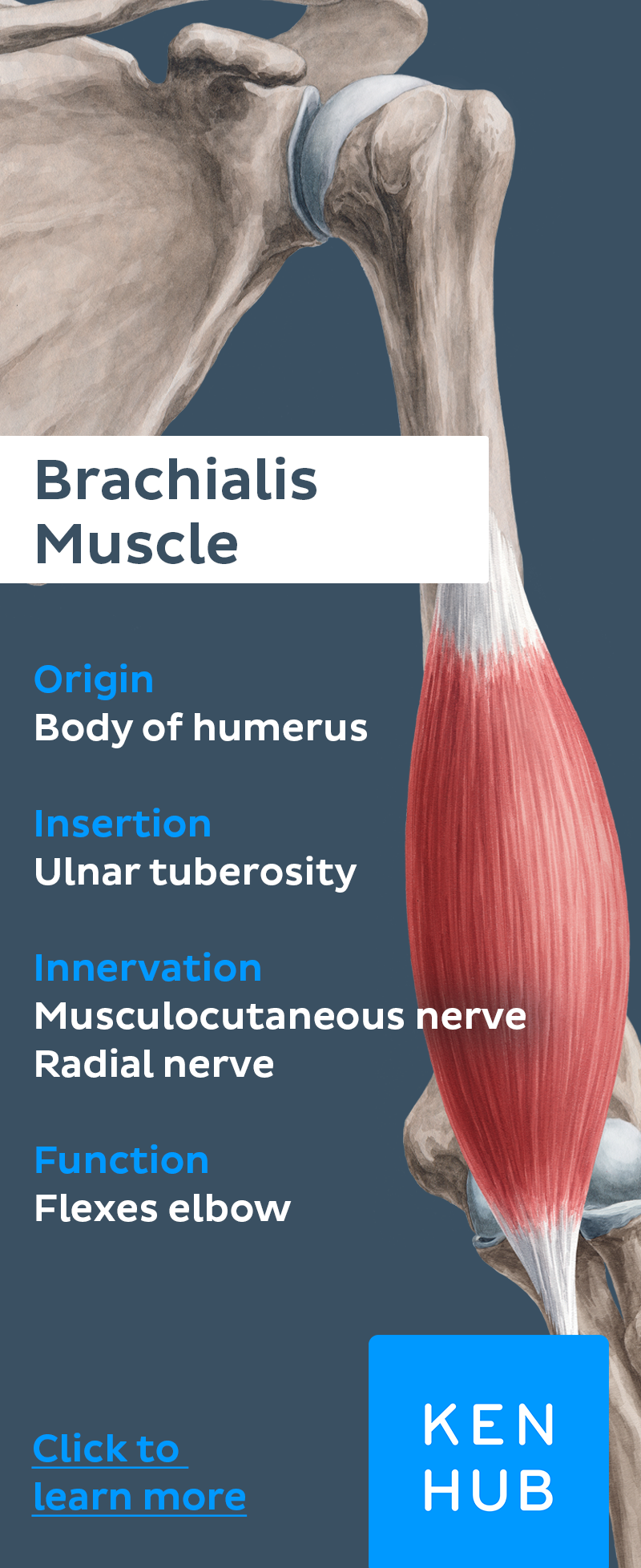 The Brachialis Is A Long And Strong Muscle Of The Upper Arm Learn