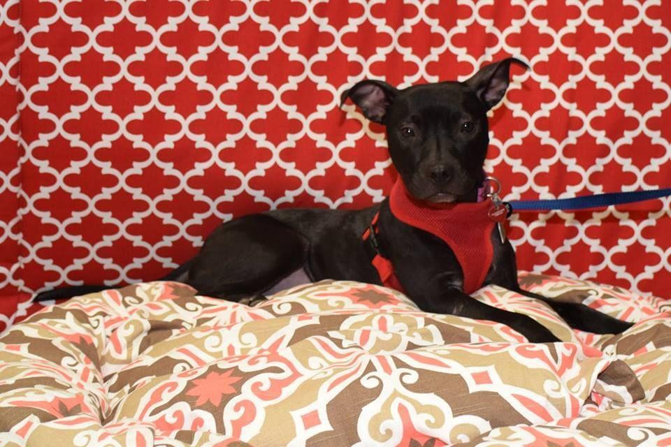 Adopt novel on petfinder miniature pinscher dog