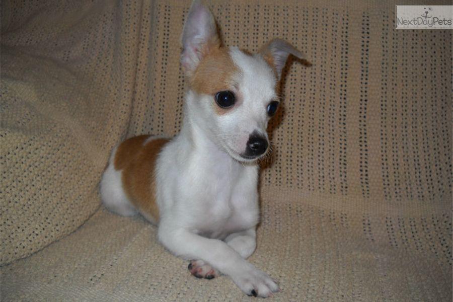 Chihuahua Puppy For Sale Near Springfield Missouri C05013f8