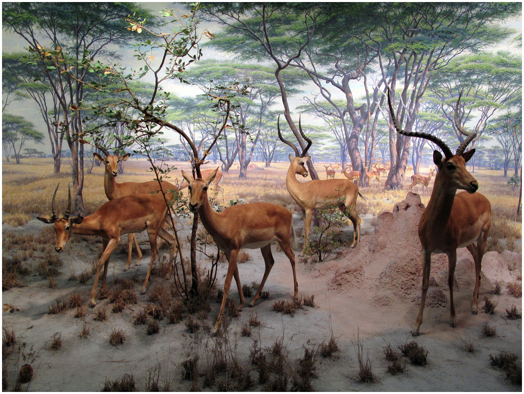 The Impala Group, African Hall, 1937 American Museum of Natural History. One of my favorites. I believe this background was painted by the amazing James Perry Wilson. Photo, urbanrenovators